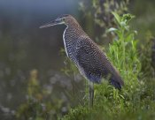 Tim Fitzharris - Bare-throated Tiger Heron portrait, Costa Rica