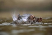 Tim Fitzharris - Hippopotamus breathing at water surface, Kenya