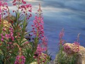 Tim Fitzharris - Fireweed against flowing stream, North America