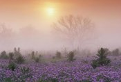 Tim Fitzharris - Sand Verbena foggy sunrise, Hill Country, Texas