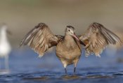 Tim Fitzharris - Marbled Godwit stretching its wings, California