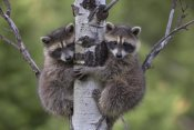Tim Fitzharris - Raccoon two babies climbing tree, North America