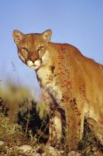 Tim Fitzharris - Mountain Lion or Cougar portrait, North America