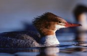 Tim Fitzharris - Common Merganser female portrait, North America