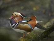 Tim Fitzharris - Mandarin Duck male, Jurong Bird Park, Singapore