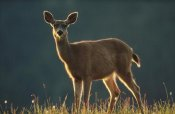 Tim Fitzharris - Mule Deer portrait in alpine meadow, Washington
