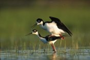 Tim Fitzharris - Black-necked Stilt couple mating, North America