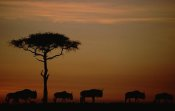 Tim Fitzharris - Blue Wildebeest herd migrating at sunset, Kenya