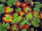 Tim Fitzharris - Yellow Pond Lily close up of pads, North America