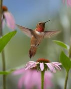 Tim Fitzharris - Rufous Hummingbird male feeding on flower nectar