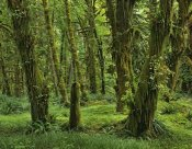 Tim Fitzharris - Hoh Rainforest, Olympic National Park, Washington