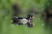 Tim Fitzharris - Wood Duck male portrait, British Columbia, Canada