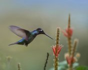 Tim Fitzharris - Magnificent Hummingbird male foraging, Costa Rica