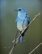 Tim Fitzharris - Mountain Bluebird perching on twig, North America
