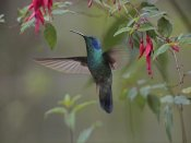Tim Fitzharris - Green Violet-ear hummingbird foraging, Costa Rica