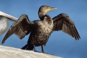 Tim Fitzharris - Double-crested Cormorant drying wings, California
