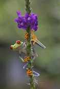 Tim Fitzharris - Red-eyed Tree Frog climbing on flower, Costa Rica