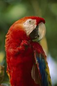 Tim Fitzharris - Scarlet Macaw, native to Central and South America