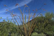 Tim Fitzharris - Ocotillo Saguaro Greasewood and Palo Verde Arizona