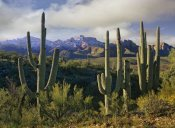 Tim Fitzharris - Saguaro cacti and Santa Catalina Mountains, Arizona