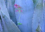 Tim Fitzharris - Agave and Parry's Penstemon close up, North America