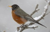 Tim Fitzharris - American Robin perching in snow storm, North America