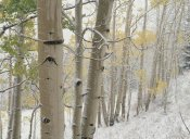 Tim Fitzharris - Aspens with snow, Gunnison National Forest, Colorado