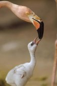 Tim Fitzharris - Greater Flamingo mother and chick, Caribbean species