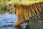 Tim Fitzharris - Siberian Tiger walking through a shallow river, Asia