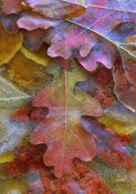 Tim Fitzharris - Fallen autumn colored Oak leaves frozen on the ground