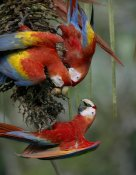 Tim Fitzharris - Scarlet Macaw trio feeding on palm fruits, Costa Rica
