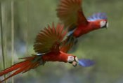 Tim Fitzharris - Scarlet Macaw pair flying with palm fruit, Costa Rica