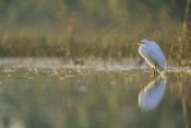 Tim Fitzharris - Great Egret backlit in marsh at sunset, North America
