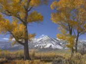 Tim Fitzharris - Cottonwood trees, fall foliage, Carson Valley, Nevada