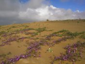 Tim Fitzharris - Sand Verbena growing, Imperial Sand Dunes, California