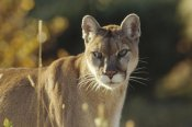 Tim Fitzharris - Mountain Lion or Cougar adult portrait, North America