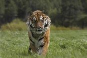 Tim Fitzharris - Siberian Tiger walking, endangered, native to Siberia