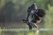 Tim Fitzharris - Bald Eagle juvenile bathing in a river, North America