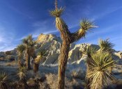 Tim Fitzharris - Joshua Trees in Red Rock Canyon State Park, California