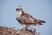 Tim Fitzharris - Osprey adult perching on nest, Baja California, Mexico