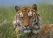 Tim Fitzharris - Siberian Tiger portrait, endangered, native to Siberia
