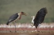 Tim Fitzharris - African Fish Eagle quarreling with Marabou Stork Kenya