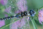Tim Fitzharris - Southern Hawker Dragonfly close-up, on stem, New Mexico