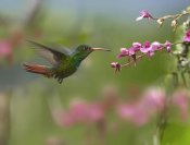 Tim Fitzharris - Rufous-tailed Hummingbird hovering near flower, Ecuador