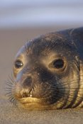 Tim Fitzharris - Northern Elephant Seal portrait on beach, North America