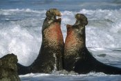 Tim Fitzharris - Northern Elephant Seal males fighting, California Coast