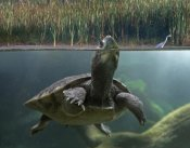 Tim Fitzharris - Turtle breathing at surface, Jurong Bird Park, Singapore