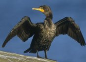 Tim Fitzharris - Double-crested Cormorant drying its wings, North America