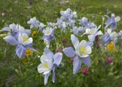 Tim Fitzharris - Colorado Blue Columbine flowers, American Basin, Colorado