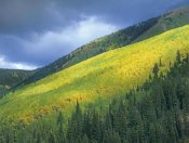 Tim Fitzharris - Aspen forest, Maroon Bells, Snowmass Wilderness, Colorado